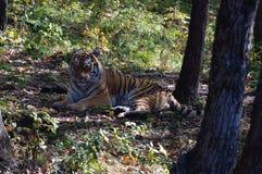 Tirg dell'Amur in habitat naturale fotografia stock libera da diritti