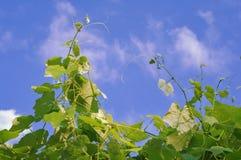 Tiri dell'uva che raggiunge fino al cielo blu Immagini Stock Libere da Diritti