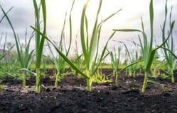 Tiri della cipolla verde sotto il sole Immagine Stock Libera da Diritti