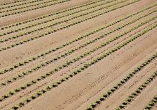 Tiri della lattuga di Reen che crescono nel suolo sabbioso Fotografia Stock
