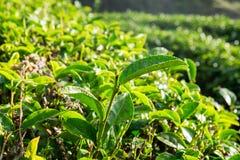 Tiri della rugiada della foglia di tè in azienda agricola Immagine Stock Libera da Diritti