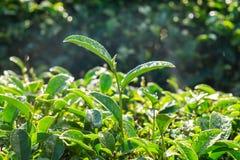 Tiri della rugiada della foglia di tè in azienda agricola Fotografia Stock