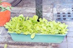 Tiri della verdura del cavolo Fotografia Stock