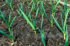 Tiri di verde di aglio fotografia stock