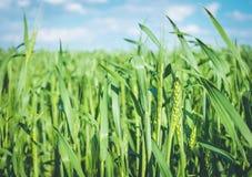Tiri di verde del frumento autunnale in primavera Prodotto rispettoso dell'ambiente Fotografia Stock Libera da Diritti
