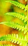 Tiri di verde della felce Fotografia Stock