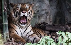 A tiring day. A tired tiger Royalty Free Stock Image