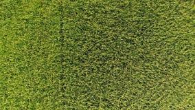 Tiro aéreo de campos do arroz video estoque