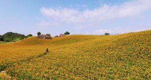 Tiro aéreo de la flor del daylily en la montaña de Taiwán almacen de video