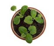 Tiro aéreo de plantas do bebê no potenciômetro XXXL Fotografia de Stock Royalty Free