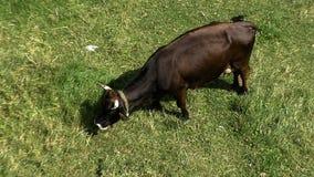 Tiro aéreo de una vaca negra que camina almacen de metraje de vídeo