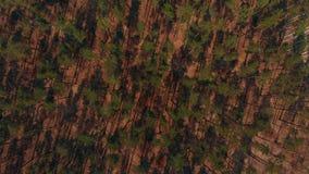 Tiro aéreo del bosque grande del pino almacen de video