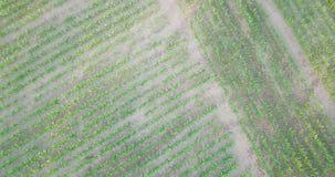 Tiro aéreo del campo de la soja que madura en la estación de primavera, rotación almacen de video