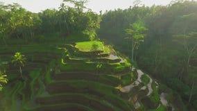Tiro aéreo do campo do terraço do arroz, campo de almofada verde em Bali, Indonésia vídeos de arquivo