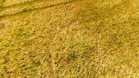 Tiro aéreo un campo de trigo rastros de la máquina segadora almacen de metraje de vídeo
