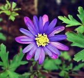 Tiro al aire libre macro de una flor púrpura minúscula Foto de archivo libre de regalías