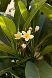 Tiro alto di fine dell'albero del fiore di plumeria nell'isola di Kos, Grecia fotografia stock libera da diritti
