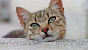 Tiro alto di fine sveglia del gatto immagini stock