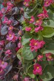 Tiro alto vicino della pianta della begonia di cera fotografia stock