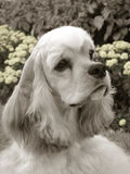 Tiro americano de la pista del perro de aguas de cocker Foto de archivo