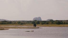 Tiro ancho hermoso del fondo, solo elefante salvaje grande que busca la comida en sabana soleada de la reserva del parque naciona almacen de metraje de vídeo