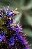 Tiro apretado de dos abejas que recolectan el polen en la flor Fotos de archivo
