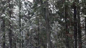 Tiro apretado de la nieve que cae en Front Of Evergreen Trees metrajes