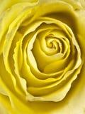 Tiro apretado de un centro color de rosa amarillo fotos de archivo libres de regalías