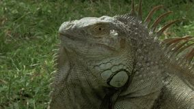 Tiro apretado de una iguana salvaje almacen de video
