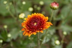 Tiro ascendente cercano de la flor del crisantemo de la mezcla del amarillo hermoso y del color rojo fotos de archivo