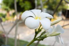 Tiro ascendente cercano de las flores de Champak fotografía de archivo
