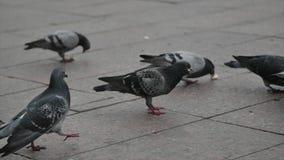 Tiro ascendente cercano de las palomas que comen pedazos de pan metrajes