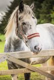 Tiro ascendente cercano de un caballo blanco con una melena imágenes de archivo libres de regalías