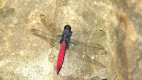 Tiro ascendente cercano de un elegantissima de Lyriothemis, una libélula roja en una roca almacen de metraje de vídeo