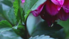 Tiro ascendente cercano del extremo del goteo de la lluvia de los pétalos de una flor rosada de Dahila almacen de metraje de vídeo