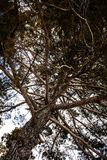 Tiro ascendente da árvore que está alto para o céu nebuloso Opinião de ângulo de ramos, dos ramo e dos galhos secos Natureza ao a imagem de stock royalty free