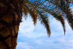 Tiro ascendente da planta da palma de coco Folhas secadas e frescas da fronda sob o céu azul Opinião de ângulo da árvore com esca imagens de stock royalty free