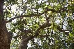 Tiro ascendente de Woody Plant com troncos e dobra dos ramos Bosques que formam Art Sculpture Sun que brilha na árvore grande foto de stock royalty free