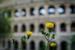 Tiro ascendente fechado da flor amarela com o Colosseum borrado nos vagabundos foto de stock royalty free