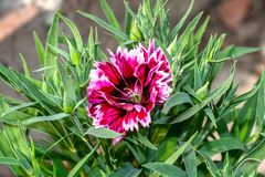 Tiro ascendente próximo da flor do rosa, a vermelha e a branca da cor da mistura do cravo-da-índia com botões foto de stock royalty free