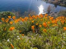 Tiro ascendente próximo da flor da flor da papoila em Diamond Valley Lake fotografia de stock