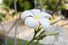 Tiro ascendente próximo de flores de Champak fotografia de stock