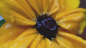 Tiro ascendente próximo do extremo de uma flor de Susan de olhos pretos na chuva vídeos de arquivo