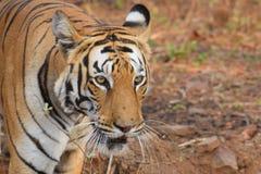 Tiro ascendente próximo do tigre de Bengal real majestoso na reserva do tigre de Tadoba, Índia imagem de stock royalty free