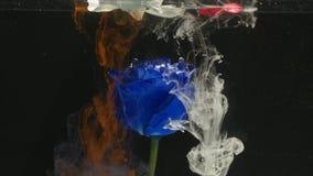 Tiro atmosférico surpreendentemente maravilhoso de uma rosa bonita do azul que mistura com a tinta na água vídeos de arquivo