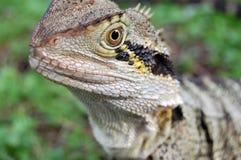 Tiro australiano do micro do lagarto Fotografia de Stock