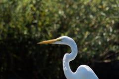 Tiro blanco de la pista del egret Fotos de archivo