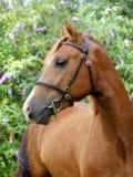 Tiro bonito da cabe?a de cavalo da castanha imagens de stock royalty free