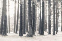 Tiro bonito de árvores altas em uma floresta coberta na neve fotografia de stock