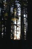 Tiro bonito de árvores altas em uma floresta na noite imagem de stock royalty free